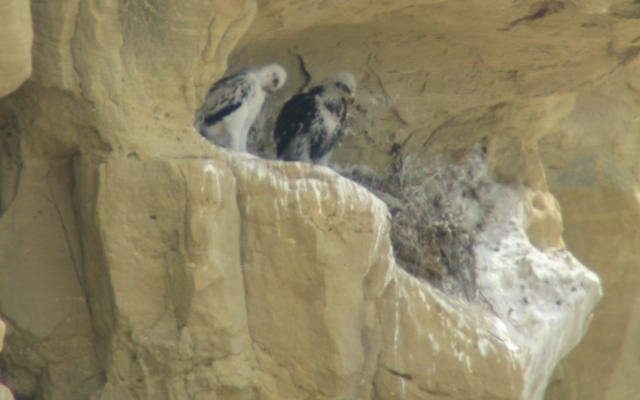 These young eagles are still about two weeks from fledging. photo by R. Hughes