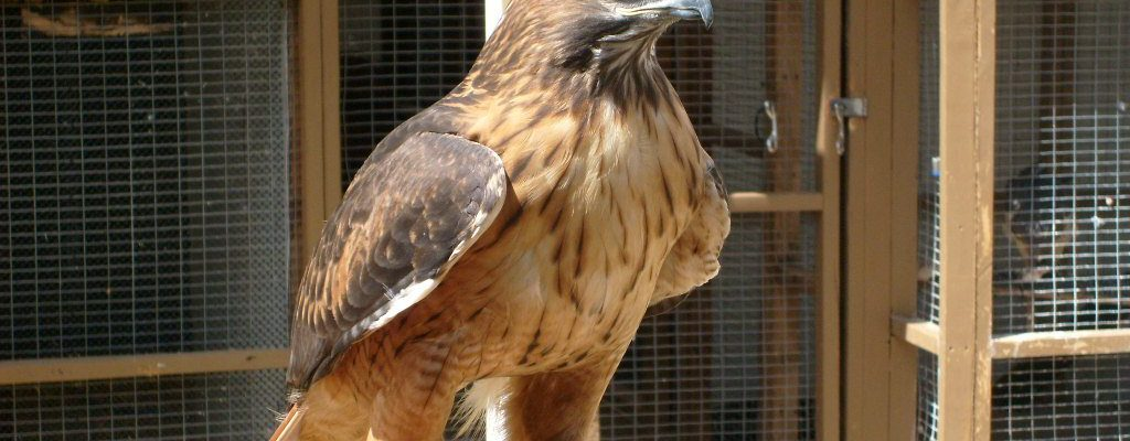 "Another view of the Center of the West's red-tailed hawk, showing his ""bad"" side. He's still handsome."