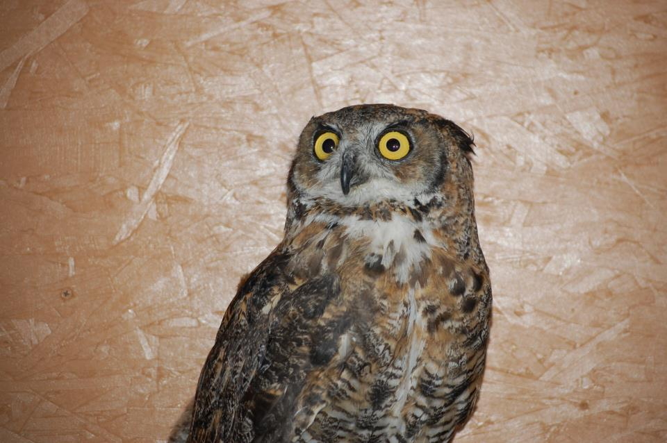 Great horned owl Teasdale shortly after arriving at his new home with the Draper Museum Raptor Experience.