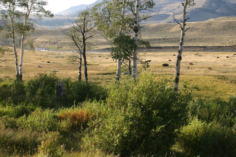 Increased tree and shrub growth in Yellowstone's Northern Range may reflect a trophic cascade started by wolf reintroduction.