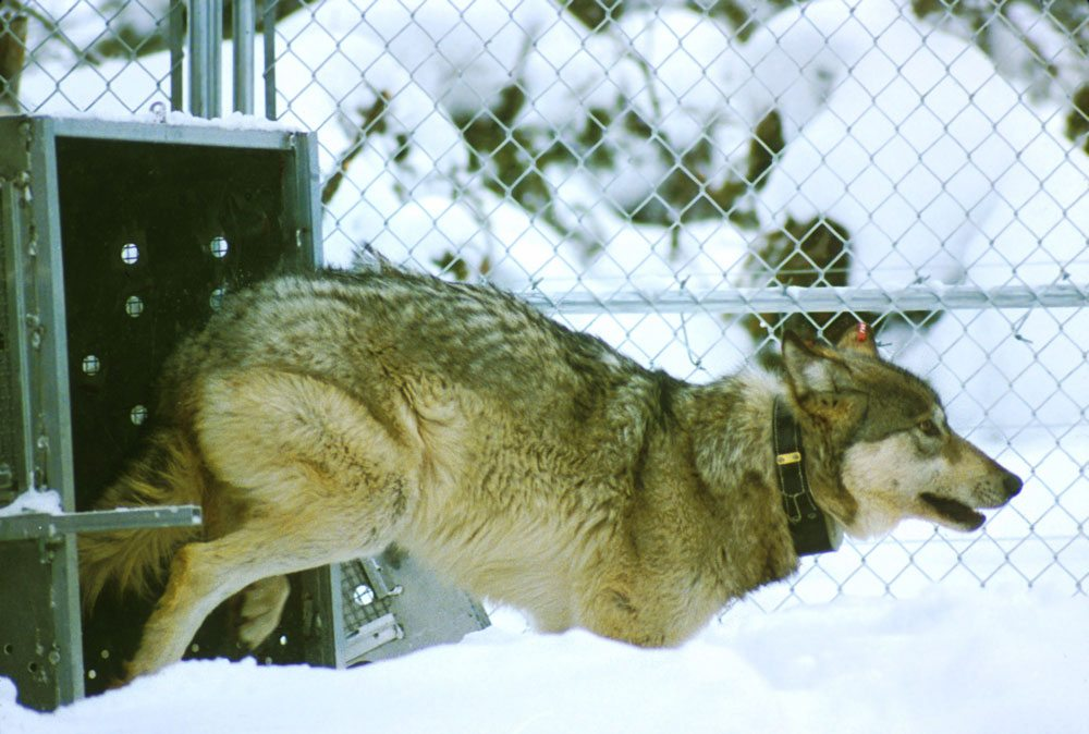 Wolves were reintroduced to Yellowstone in 1995 after being absent for nearly 70 years.