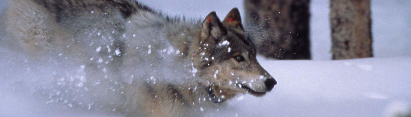Wolf. NPS photo.
