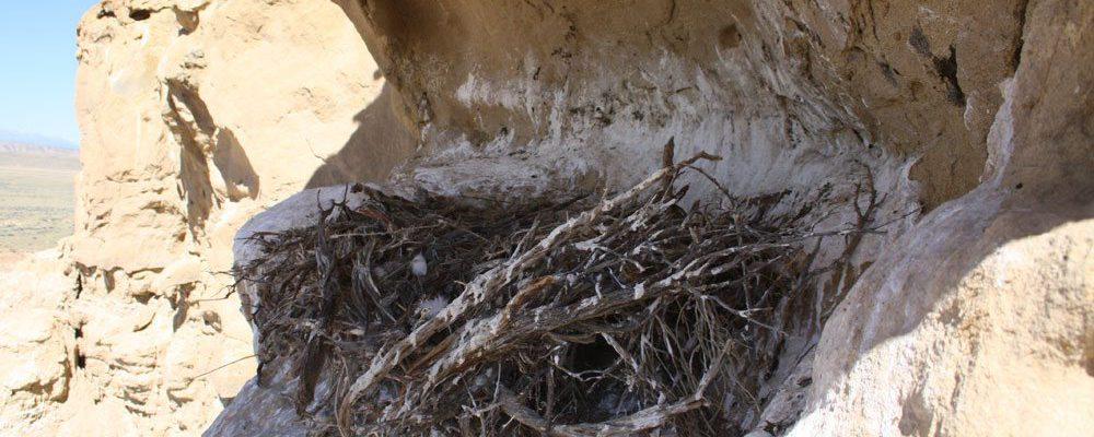 Golden eagle nest