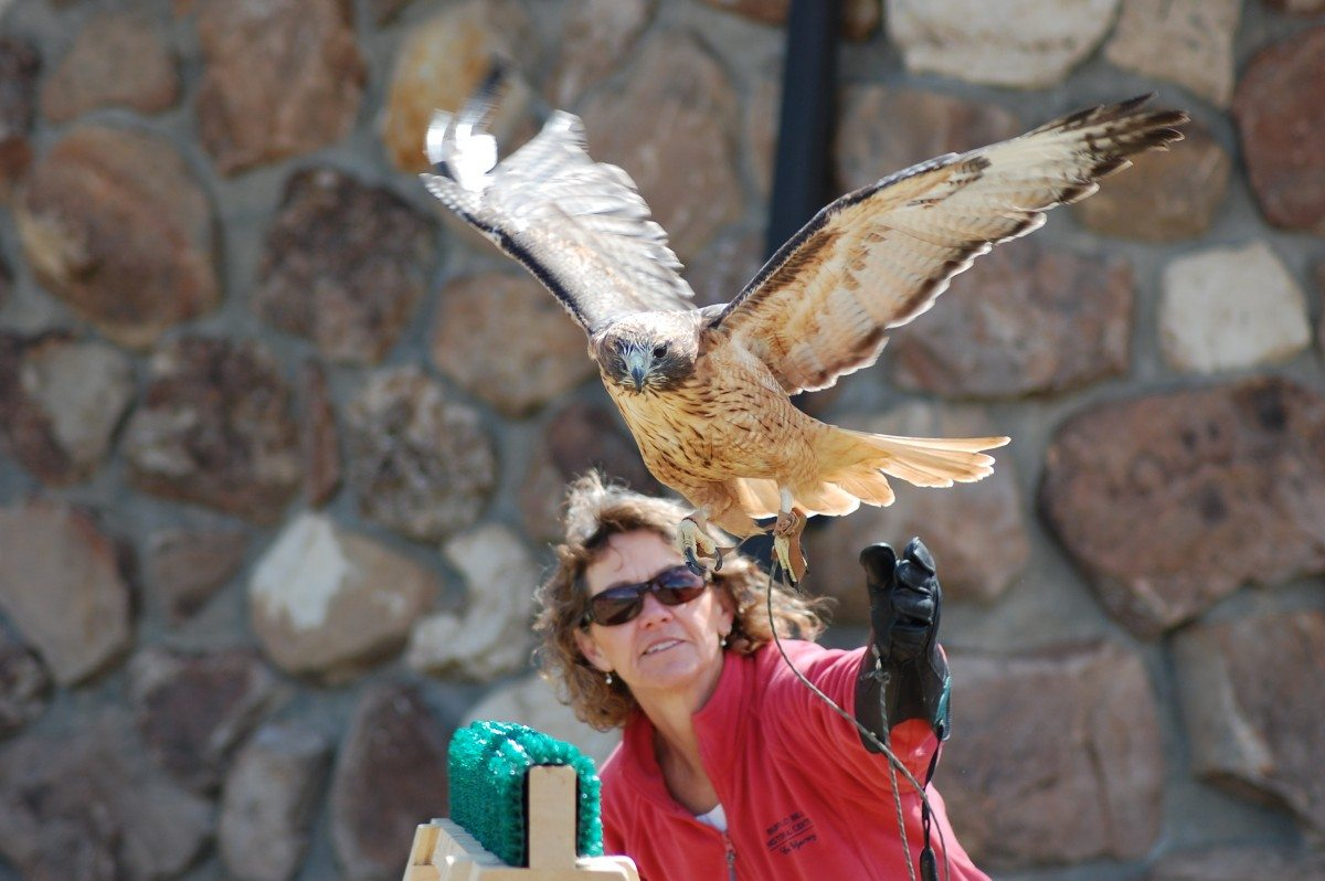 Isham the red-tailed hawk flying at the Buffalo Bill Center of the West.