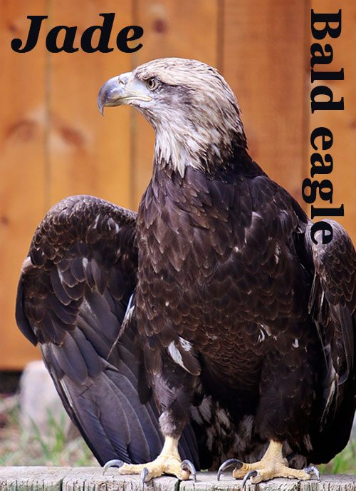 Bald eagle Jadel