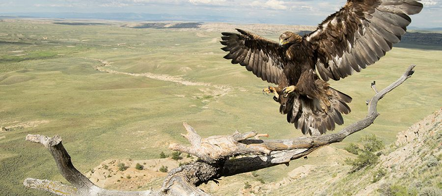 Golden eagle. Moosejaw Bravo Photography image.