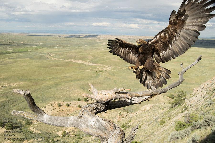 Golden eagle. Moosejaw Bravo Photography image.