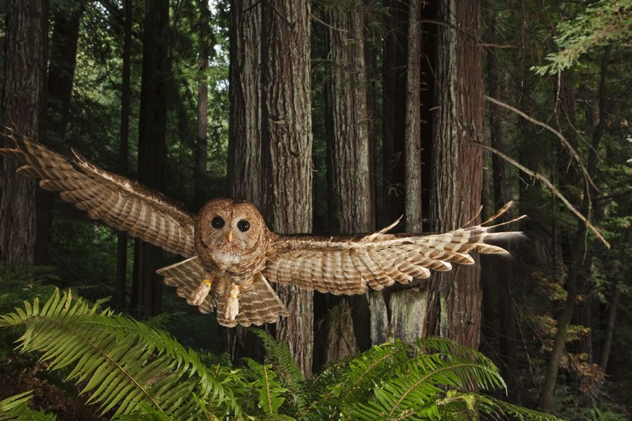 Northern Spotted Owl, California, 2009. Michael Nichols/National Geographic Stock