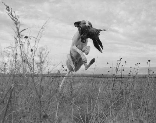 Retrieving the Past: hunting dog. PN89.111.21197.1