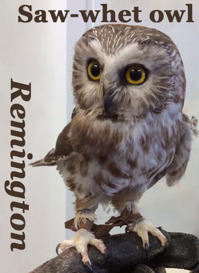 Saw whet owl Remington