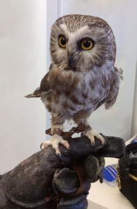 One of our owls: Remington, saw-whet owl