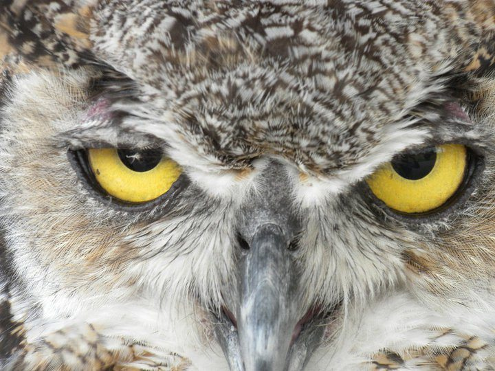 Teasdale, the Great Horned Owl at the Center of the West, glaring at the photographer's camera.