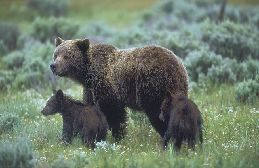 'Yellowstone grizzly bears' by Florian Schultz