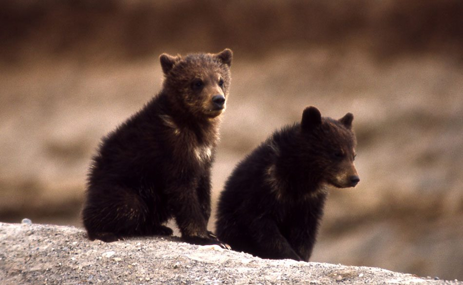 Grizzly bear cubs in Yellowstone, 1966. NPS photo.