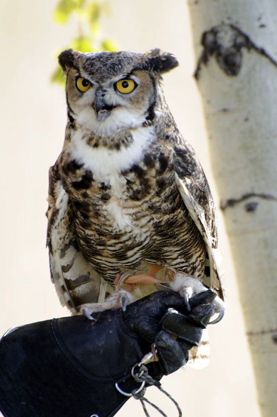 Great-horned owl: Teasdale