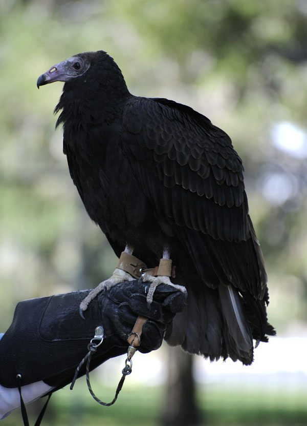 Turkey vulture: Suli