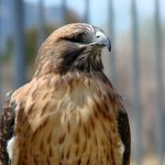 My Favorite Facts About the Red-tailed Hawk
