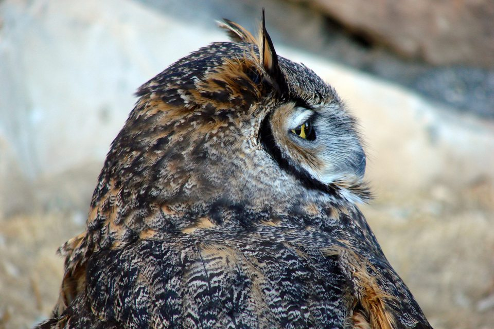 A profile shot of Teasdale, the Great Horned Owl at the Greater Yellowstone Raptor Experience