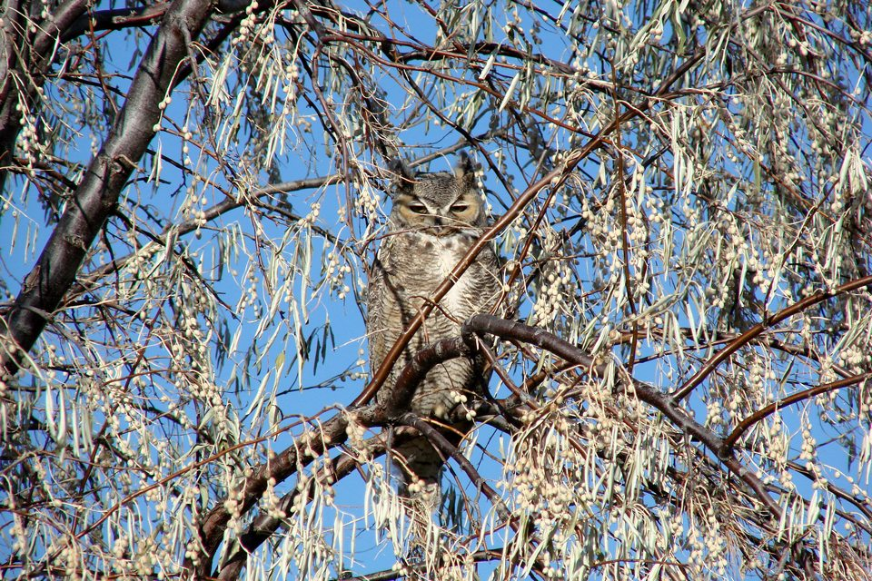 Wild Great-horned Owl In a Russian Olive Tree near the Buffalo Bill Center of the West in Cody, WY