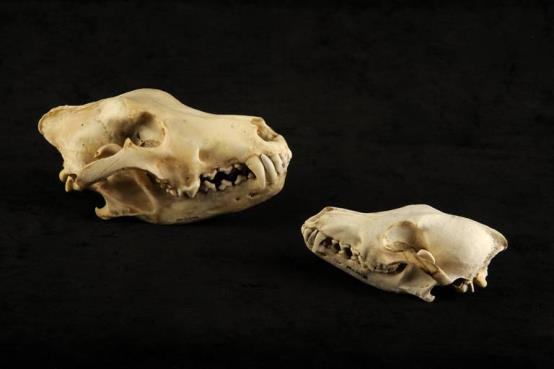Gray wolf and coyote skull