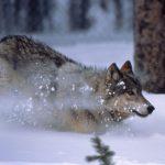 Yellowstone wolf, 1996. NPS photo by Barry O'Neill