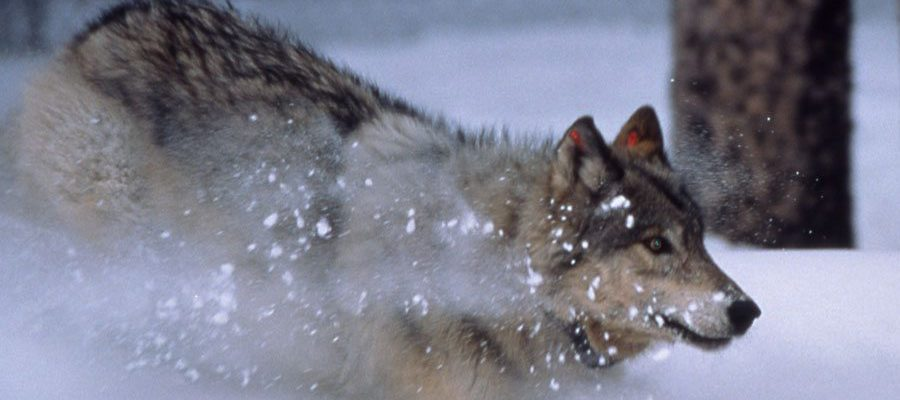 Yellowstone wolf, 1996. NPS photo by Barry O'Neill