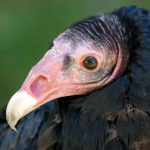 "Draper Museum Raptor Experience asks, ""What do you give a turkey vulture for her birthday?"""