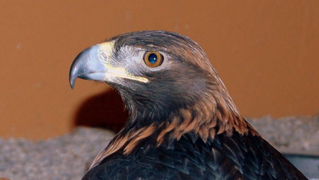 Kateri, the Golden Eagle