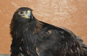 Kateri the golden eagle