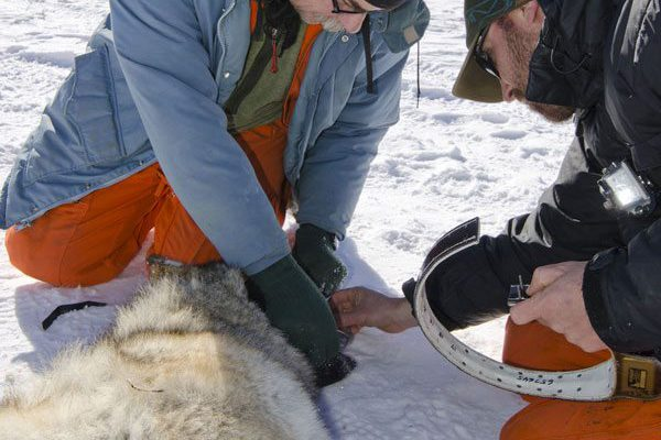 Radio collaring a tranquilized wolf to monitor its movements