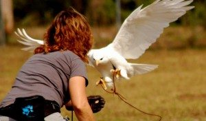 Albino red-tailed hawk hopping