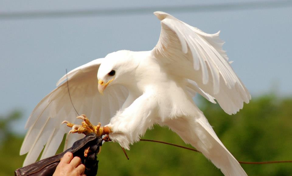 Rare Albino Golden Eagle  Pinterest