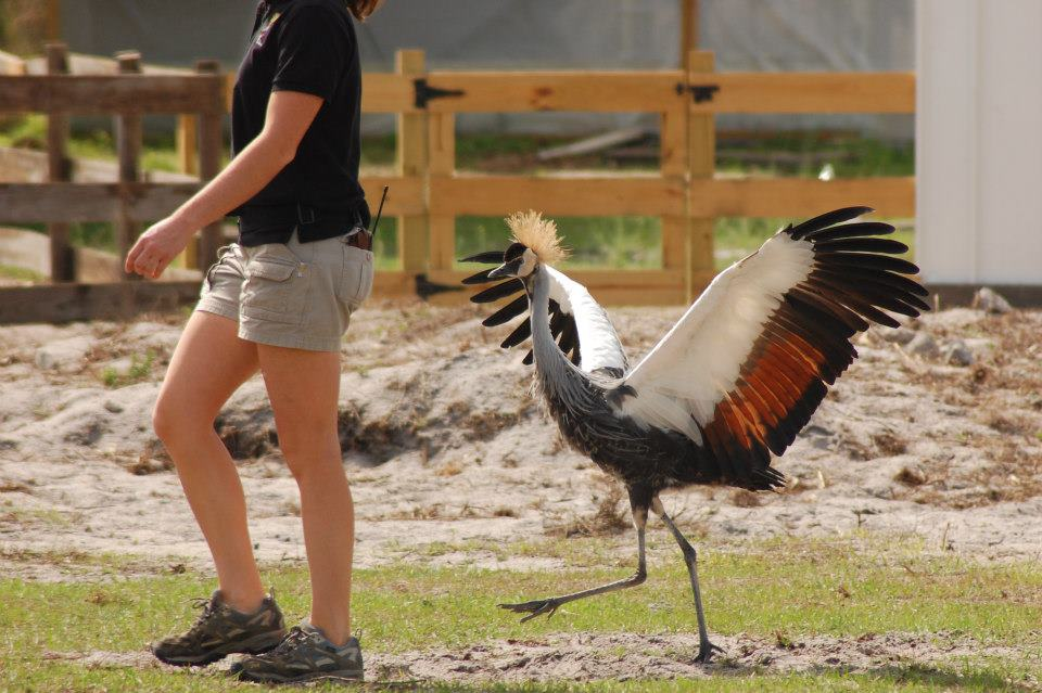 Crowned crane on a walk.
