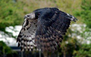 Harpy Flight All Wings 2