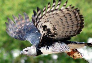 Harpy Wings Fanned