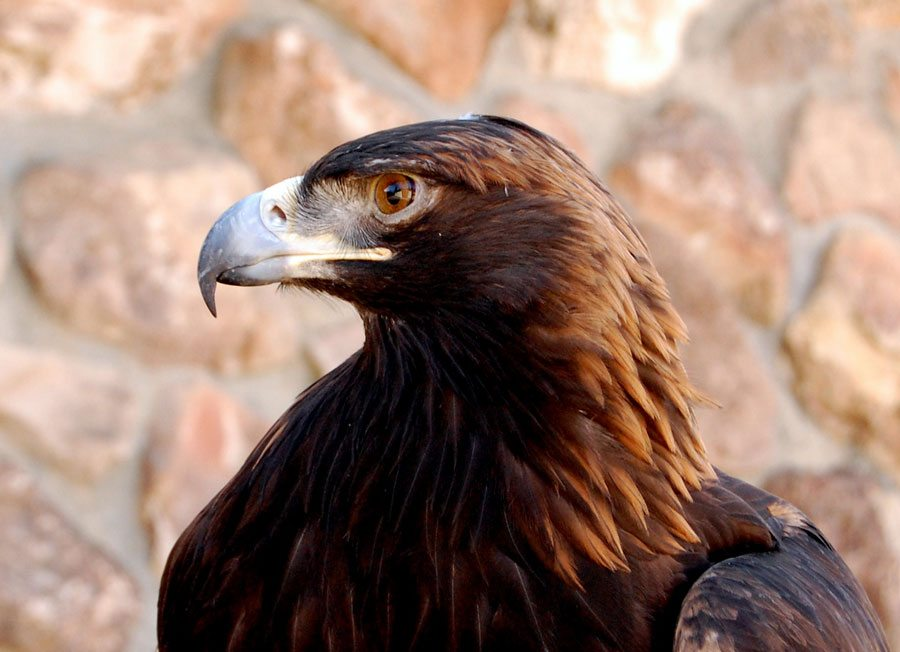 Greater Yellowstone Raptor Experience: Kateri, golden eagle