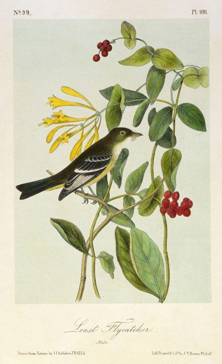 John James Audubon's 'Least Flycatcher,' after 1843. 14.99.5