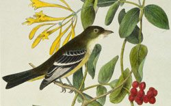 Audubon and Friends: 'Least Flycatcher.' 14.99.5