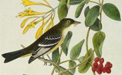 Audubon and Friends: 'Least Flycatcher.' 14.99.5