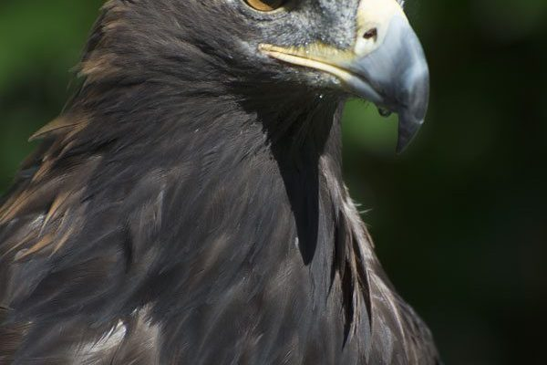 The Greater Yellowstone Raptor Experience's Kateri, the golden eagle