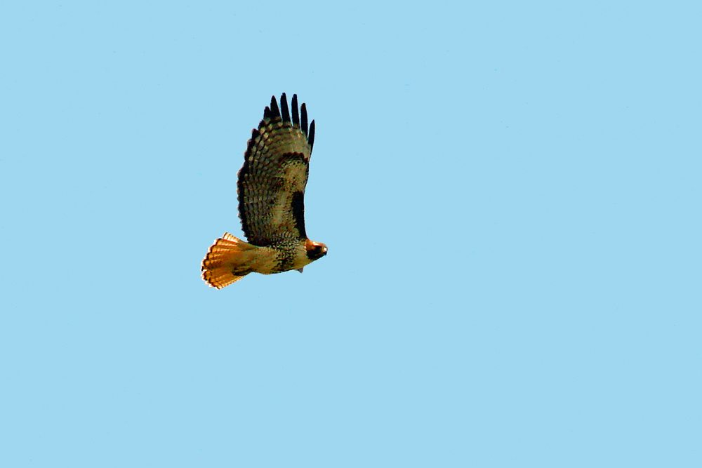In this photo you can see both the beautiful red tail, and the comma dash pattern on the leading edge of the wings.