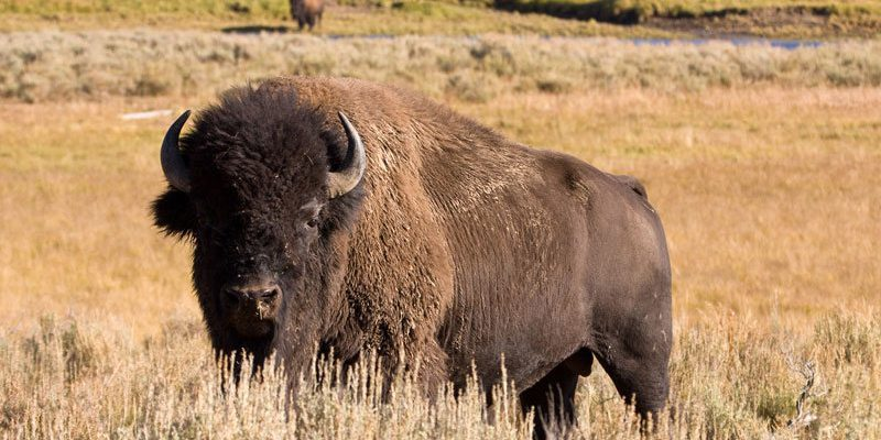 American bison. Photo by Jeff Burrell