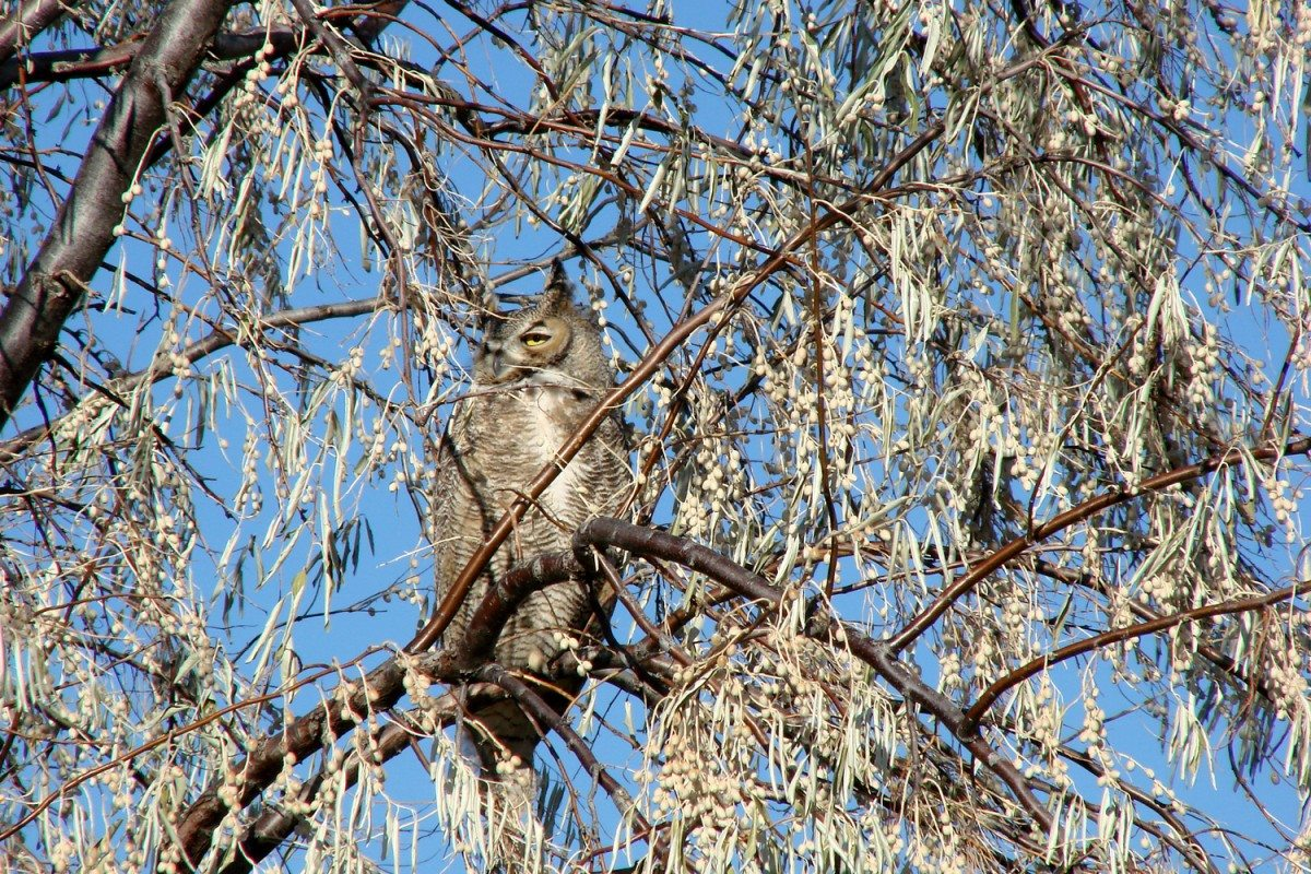 This great horned owl blended right in with our Russian olive tree.