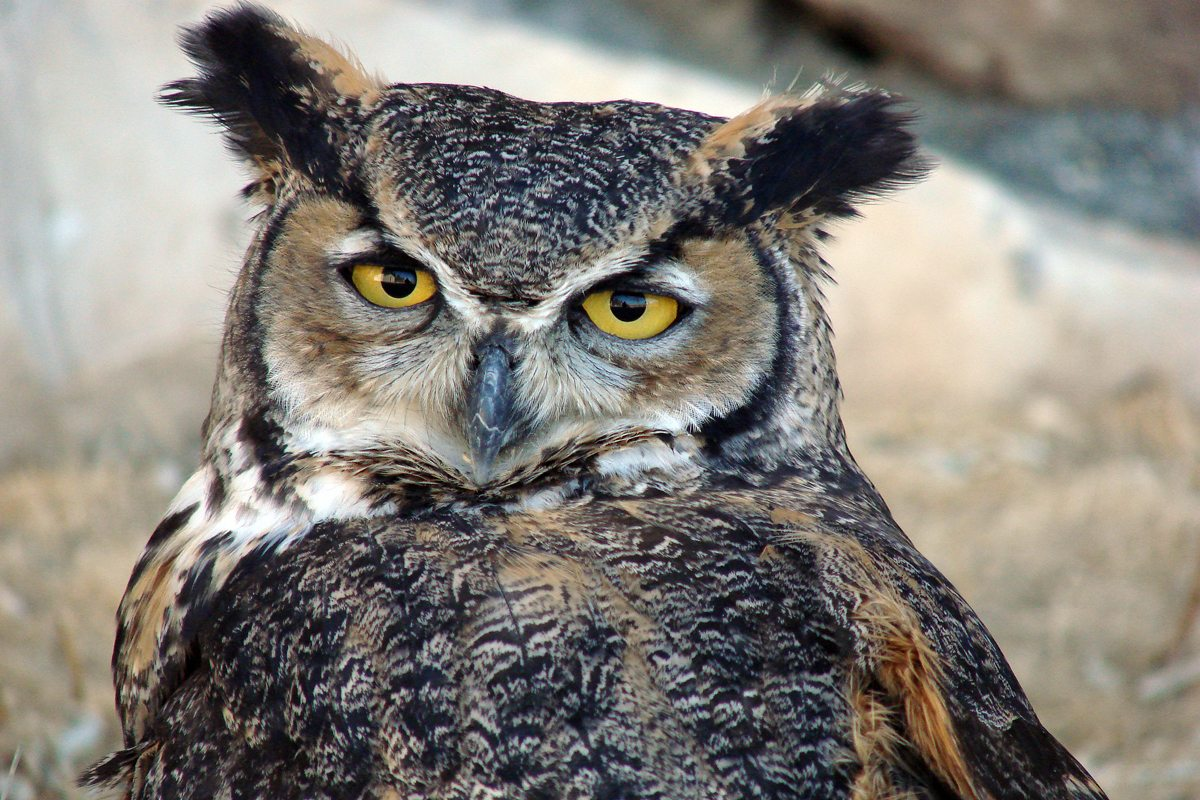 Teasdale, Our Handsome Great Horned Owl.