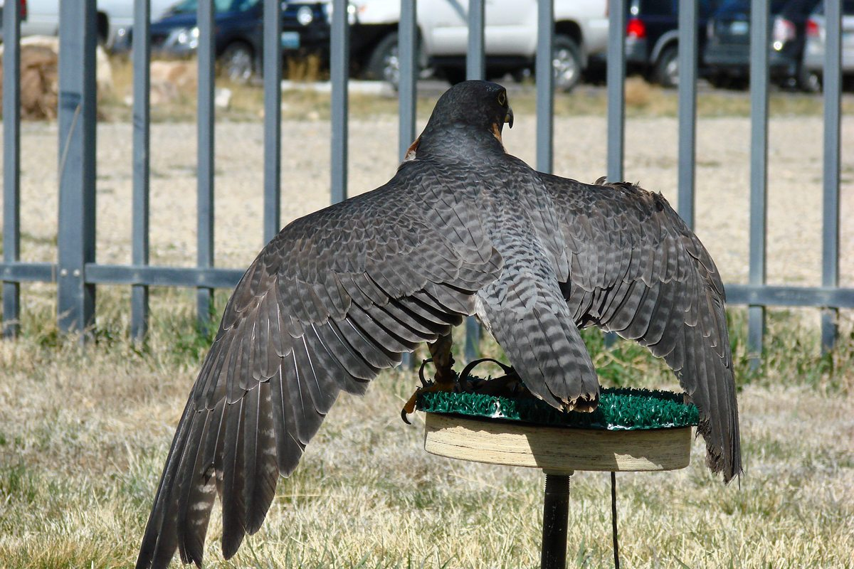 The black and blue-gray feathers on Hayabusa's back.