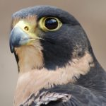 My Favorite Interesting Facts About Peregrine Falcons