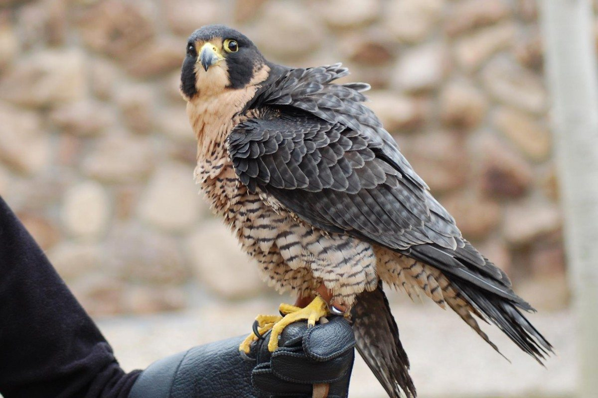 the peregrine falcon essay Cooper's hawk or peregrine falcon great gray owls and then went on to organize and direct chicago's peregrine falcon release book of nature essays.