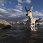 Past Exhibition: Pronghorn Passage