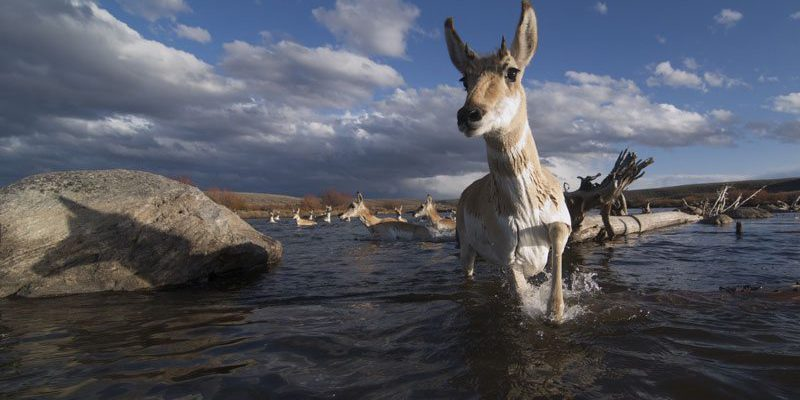 Pronghorn crossing a river. Photo by Joe Riis.