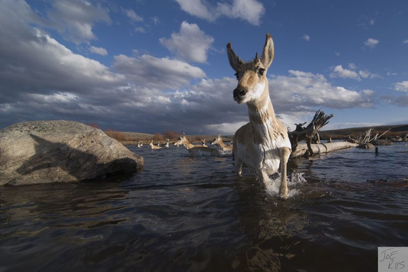 Pronghorn crossing a river. Image by Joe Riis from 'Pronghorn Passage'